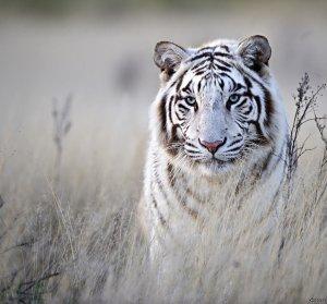 Прогноз фэн шуй февраль 2021.Металлический Тигр выходит на охоту